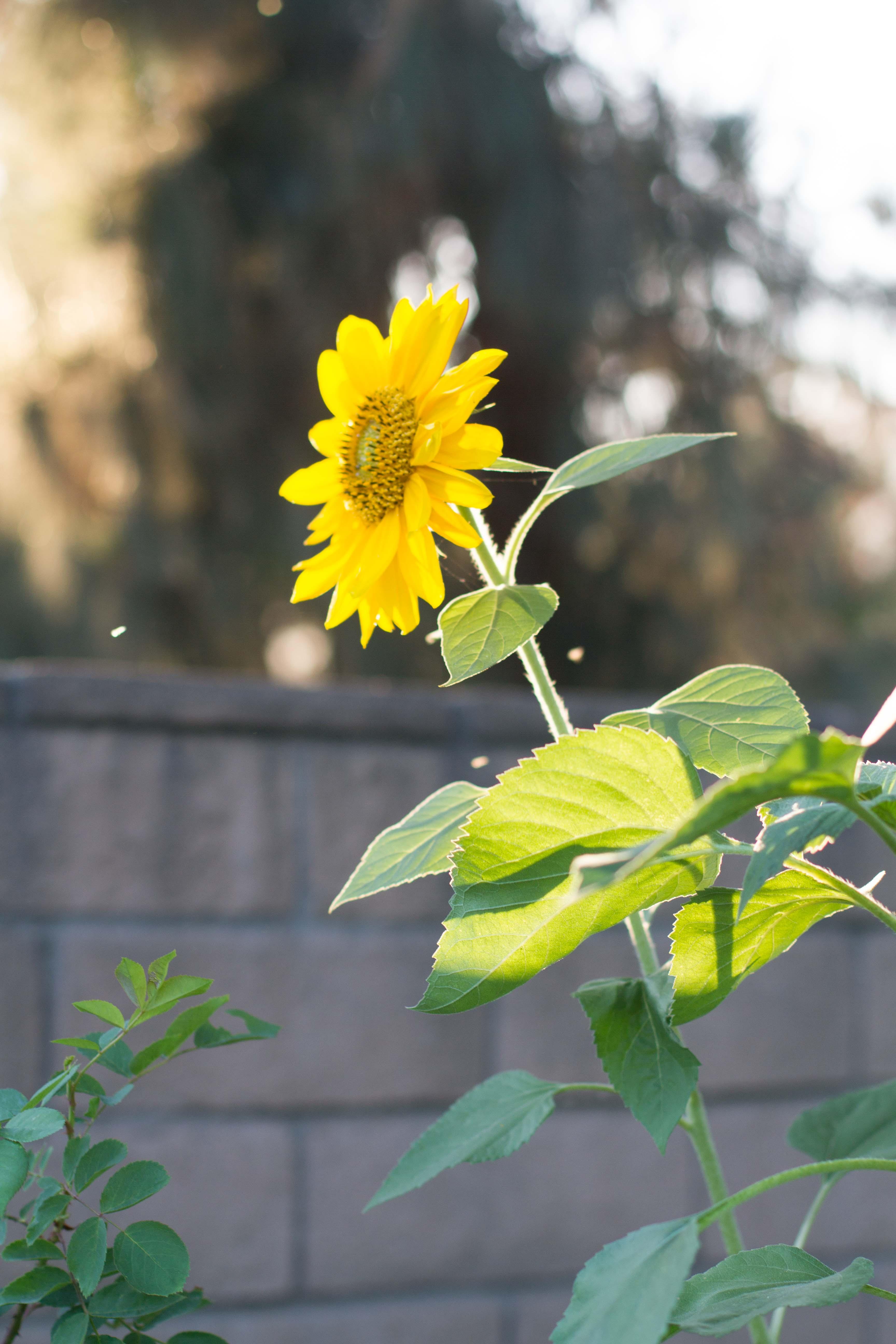Sunflowers_2015_2