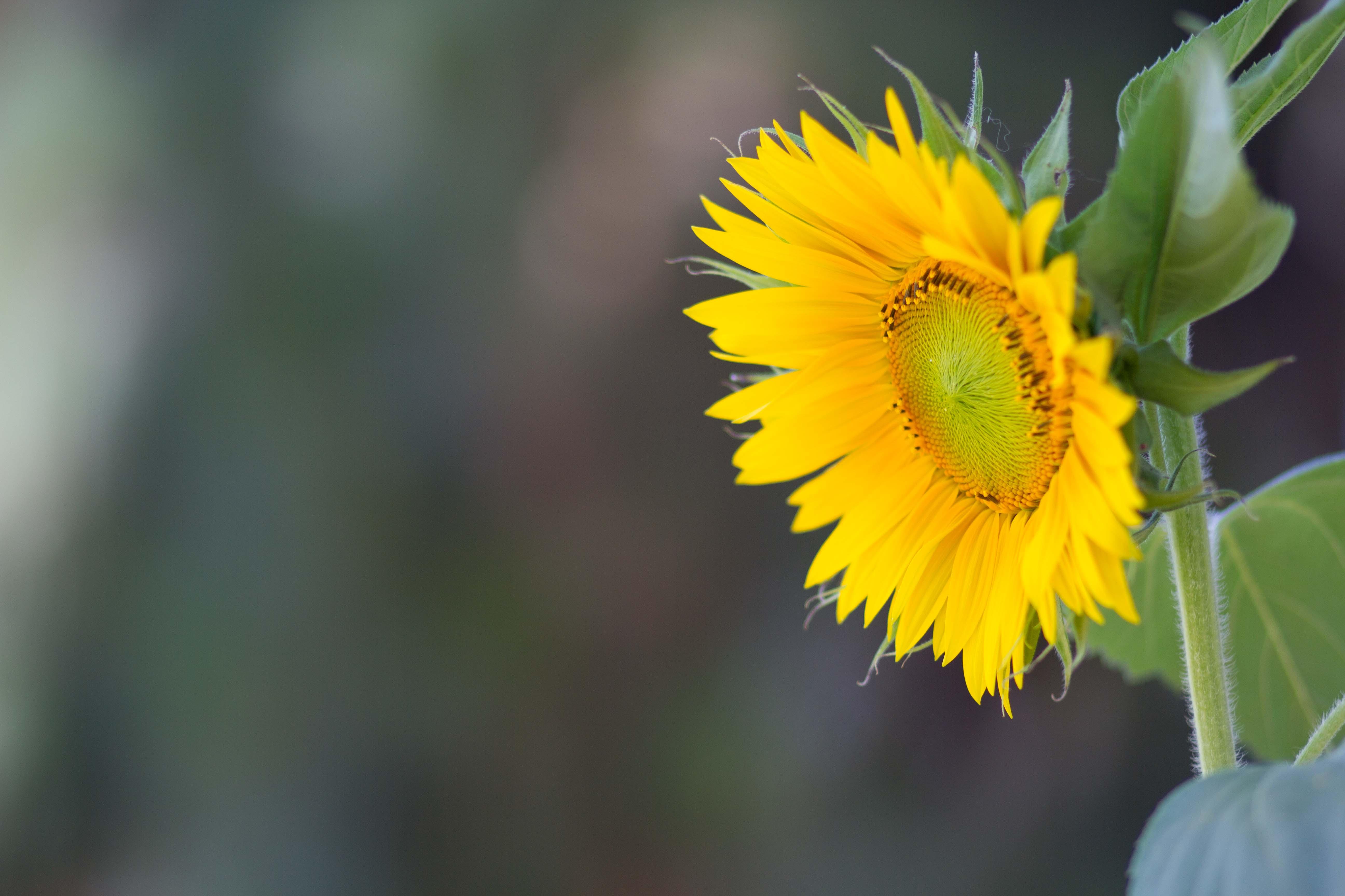 Sunflowers_2015_6