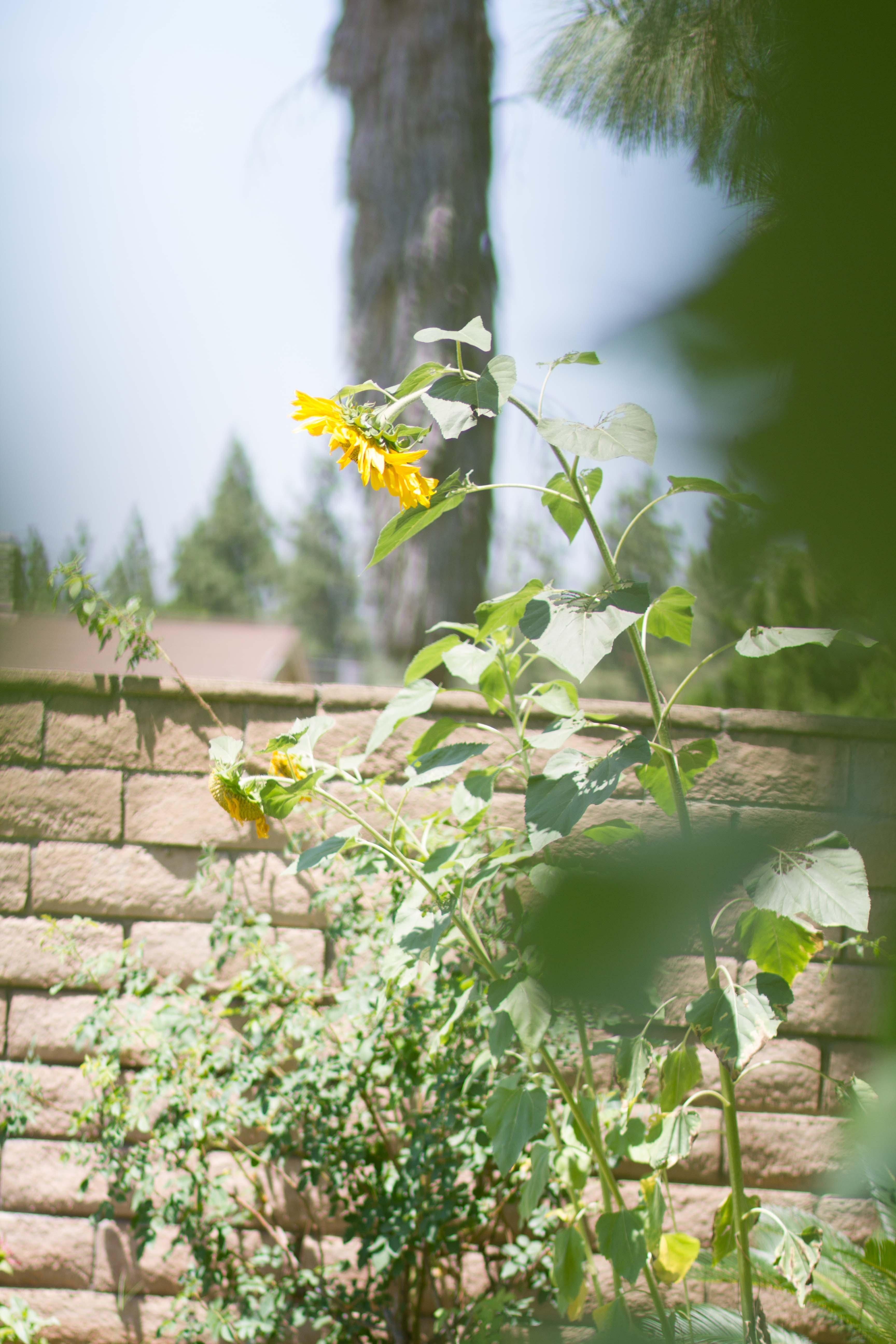 Sunflowers_2015_8
